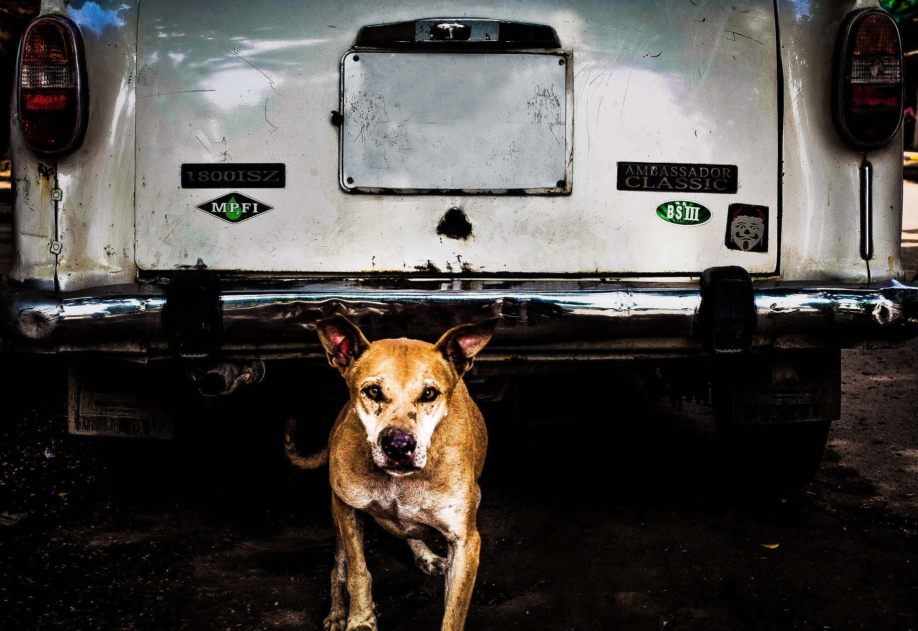 A stray dog crawls out from under a car in New Delhi.